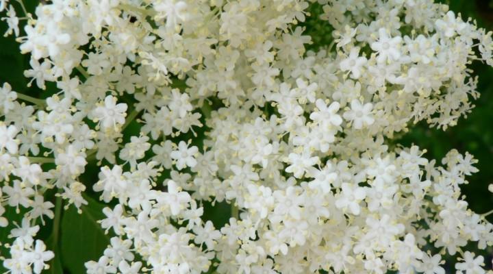 Molto La gelatina di fiori di Sambuco - Storie di Persone di Cinzia Tosini HY27