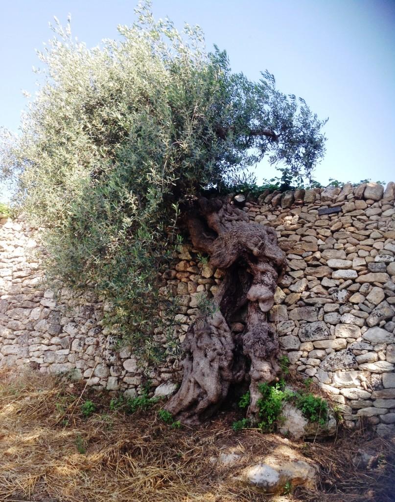 L'ulivo maritato con la pietra