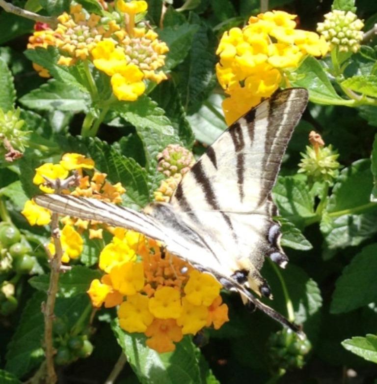 La pianta delle farfalle