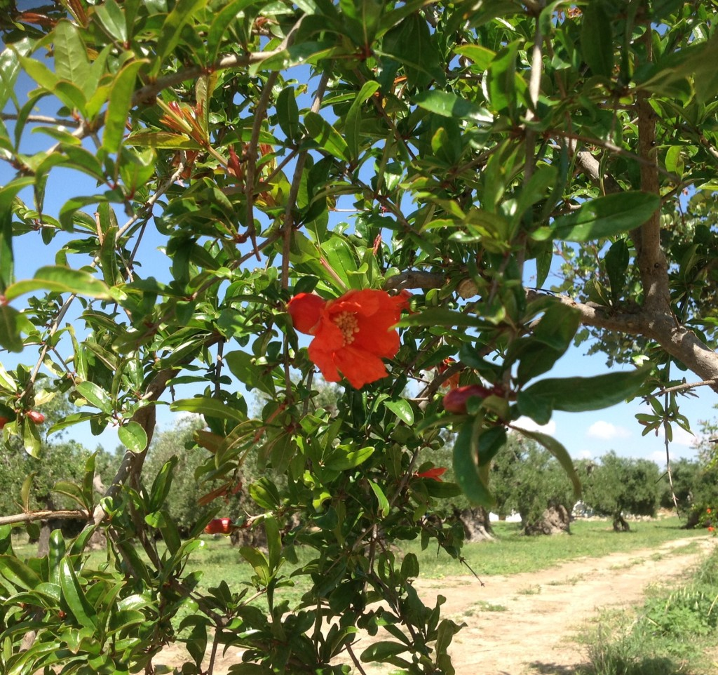Flower of Pomegranate
