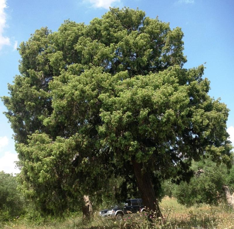 Un albero di ginepro di cinquecento anni - Azienda Agricola Campanello
