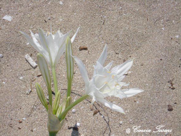 Fiore del Salento